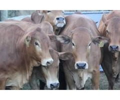 Cows for sale,Christmas offer Messina, Limpopo