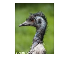 Emu Birds For sale