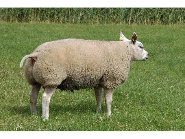 58kg ram for sale